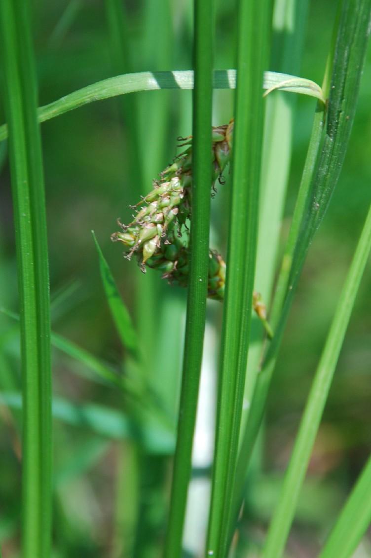 Carex distans 7