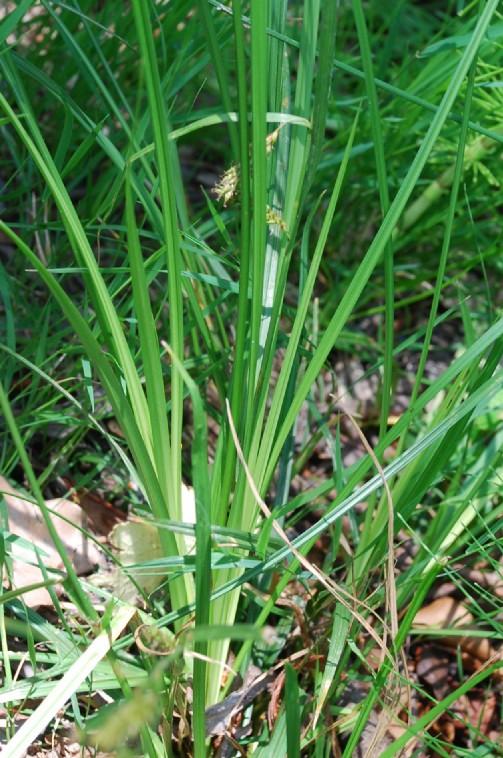 Carex distans 8