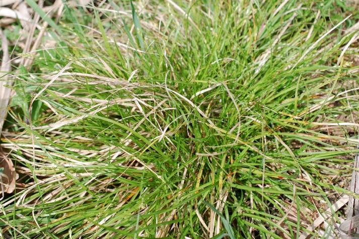 Carex divulsa subsp. divulsa 10