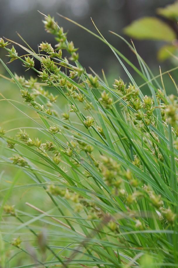 Carex divulsa subsp. divulsa 4