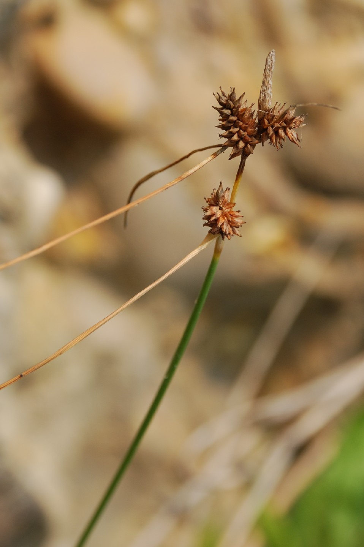 Carex extensa