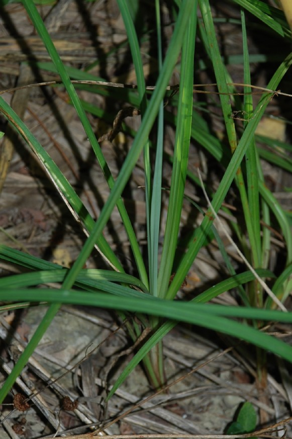 Carex flacca subsp. flacca 14