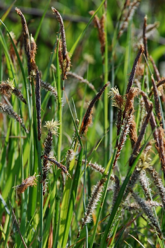 Carex flacca subsp. flacca 4