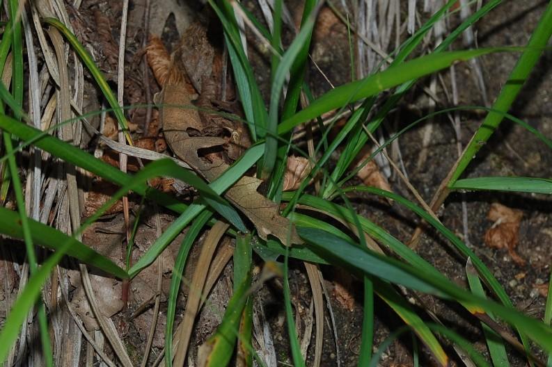 Carex flacca subsp. serrulata 11