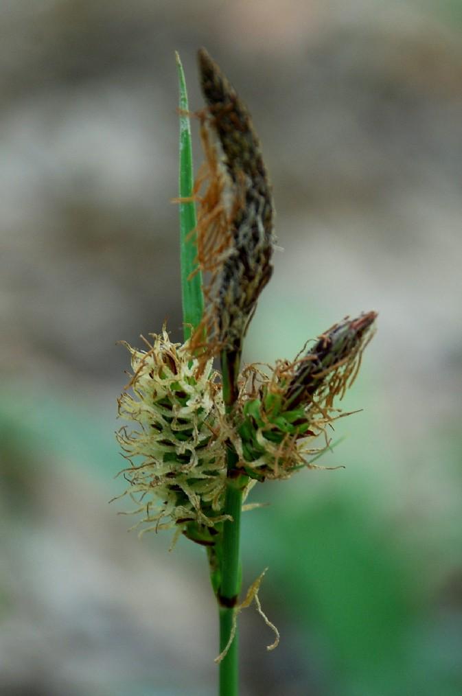 Carex flacca subsp. serrulata 17