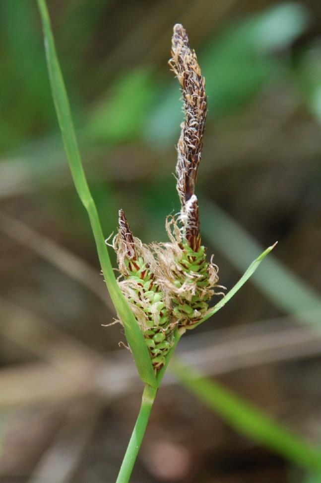 Carex flacca subsp. serrulata 19