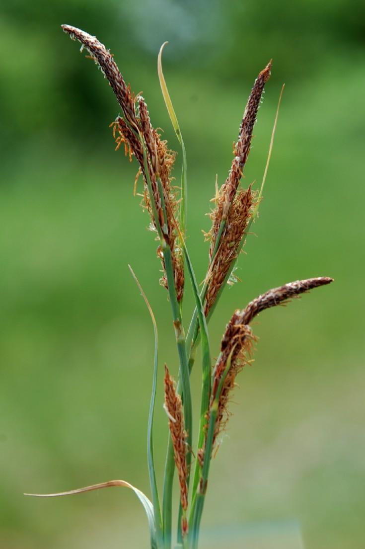 Carex flacca subsp. serrulata 27