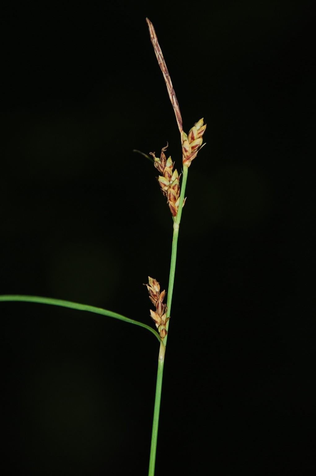 Carex flacca subsp. serrulata 8