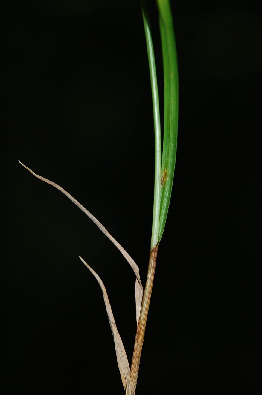 Carex flacca subsp. serrulata 9