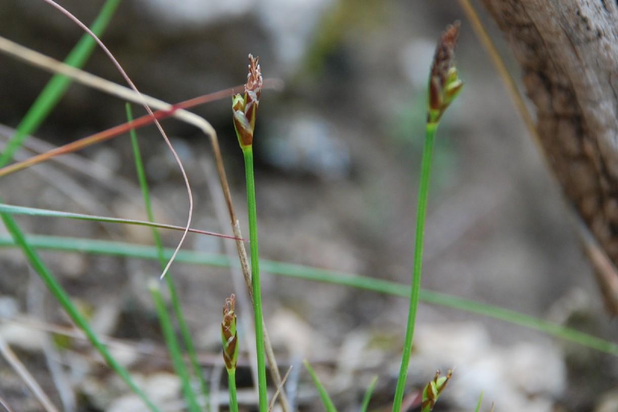 Carex hallerana 10