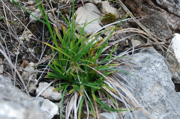 Carex hallerana 11