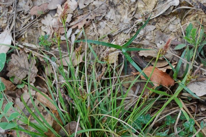 Carex hallerana 14
