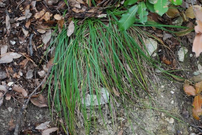 Carex hallerana 15
