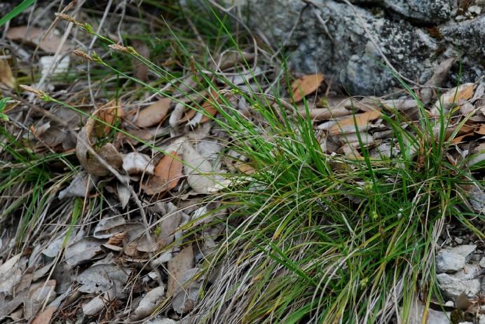 Carex hallerana 16