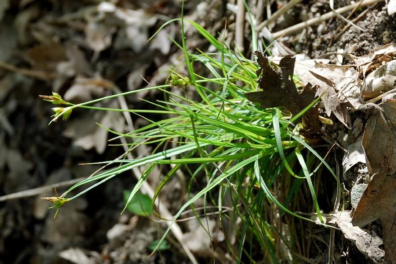 Carex hallerana 19