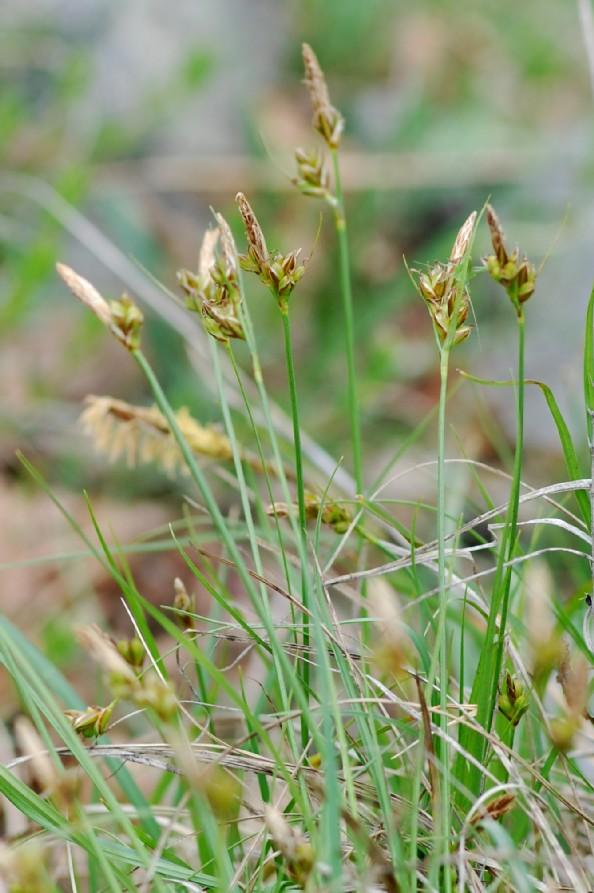 Carex hallerana 2