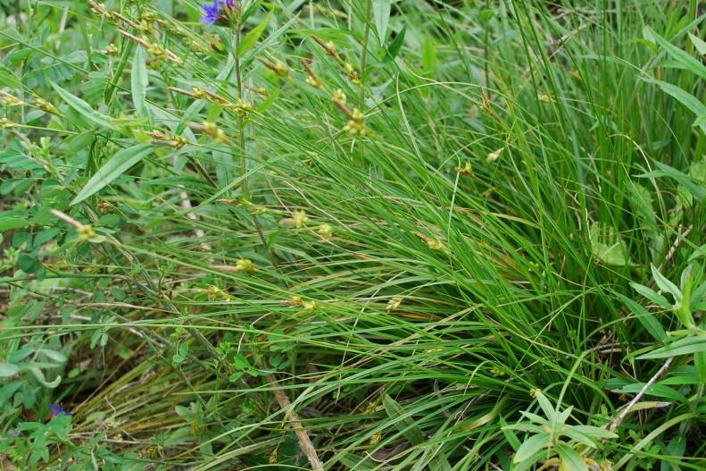 Carex hallerana 22