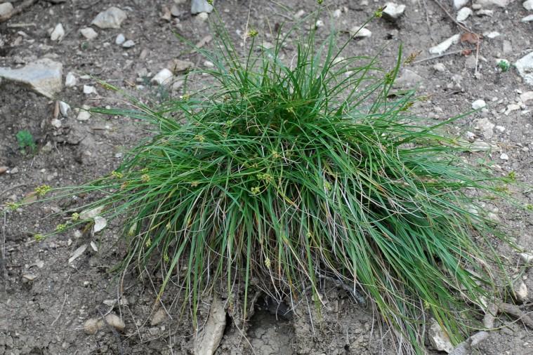 Carex hallerana 23