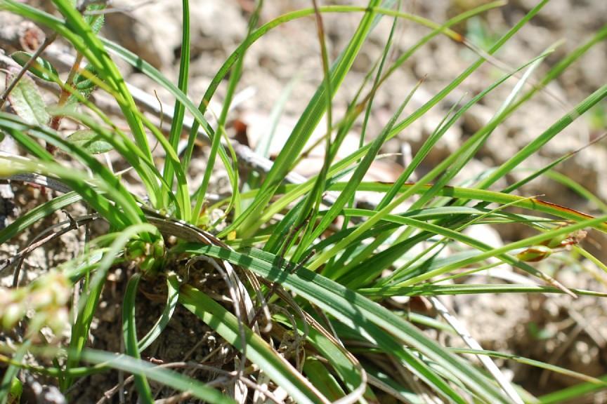 Carex hallerana 29