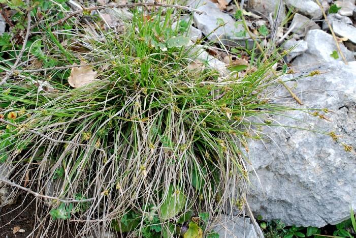 Carex hallerana 30