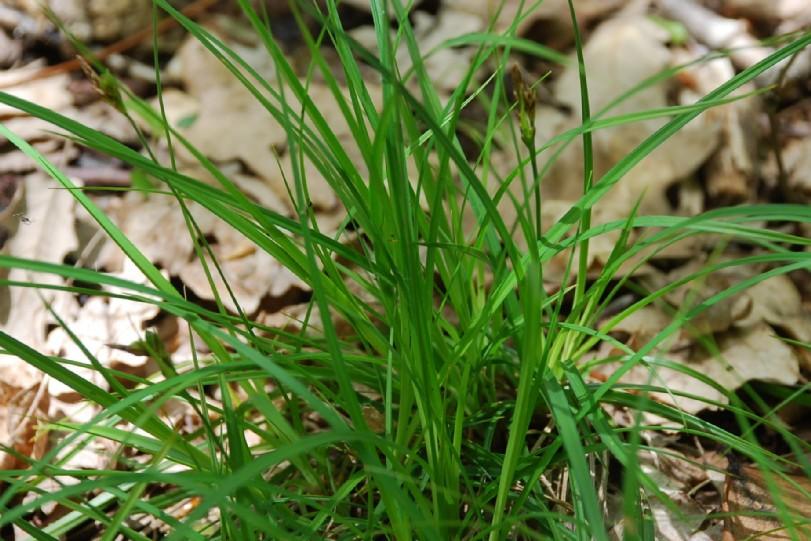 Carex hallerana 6