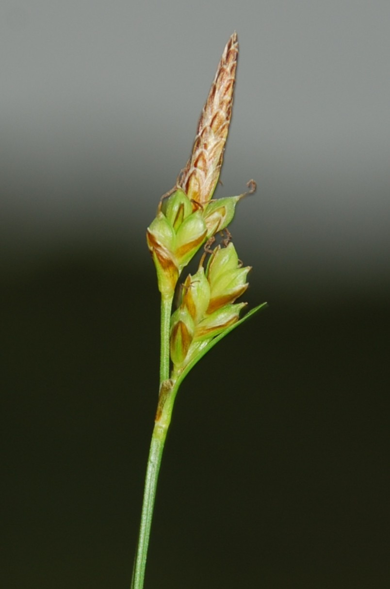 Carex hallerana 8