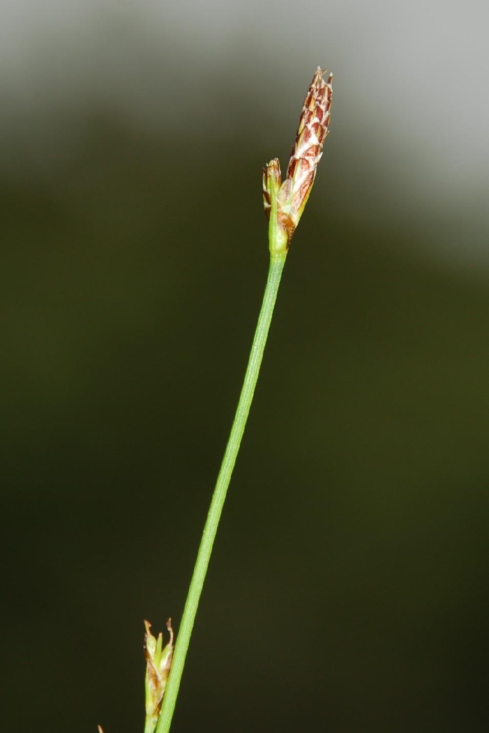 Carex hallerana 9