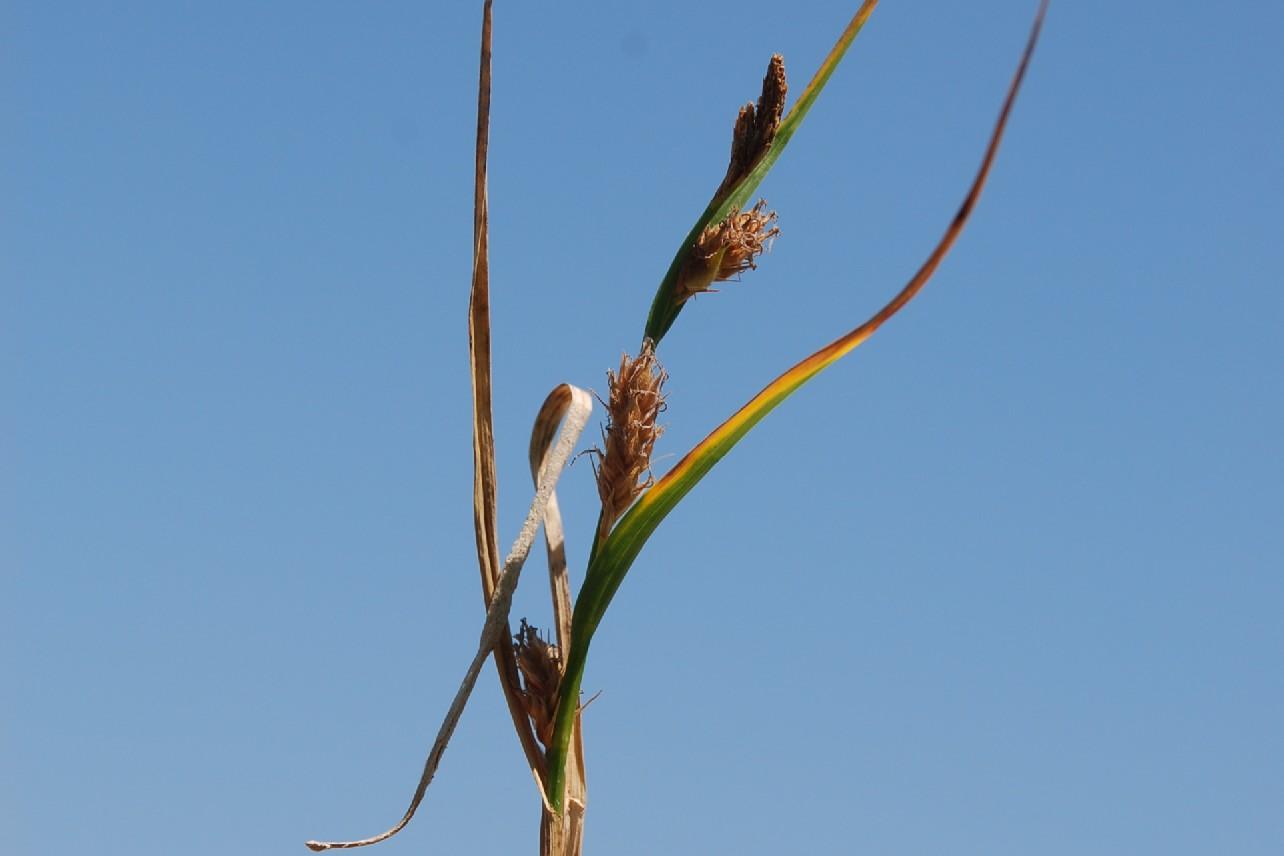 Carex hirta 14