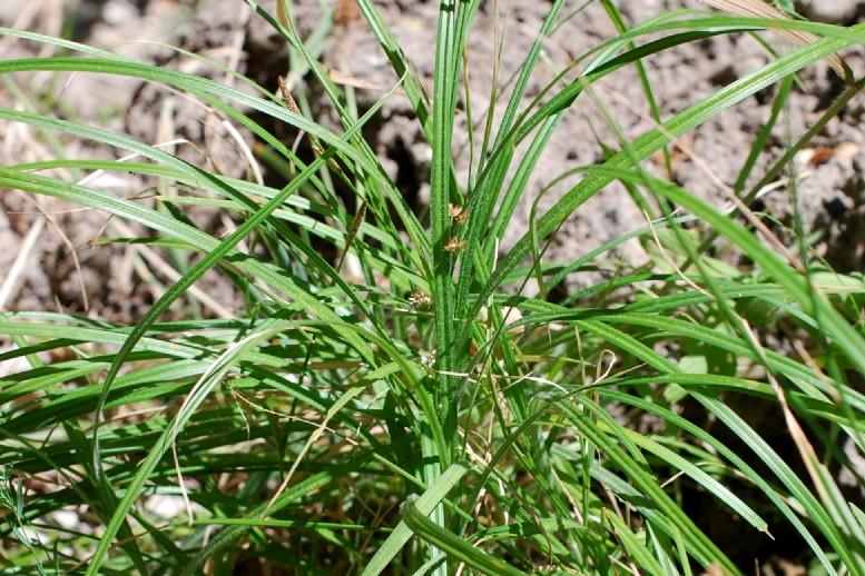 Carex hirta 23