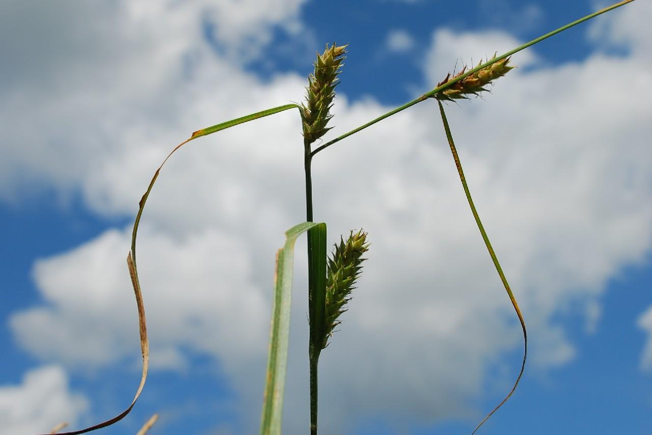 Carex hirta 5
