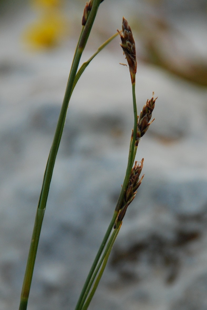 Carex kitaibeliana