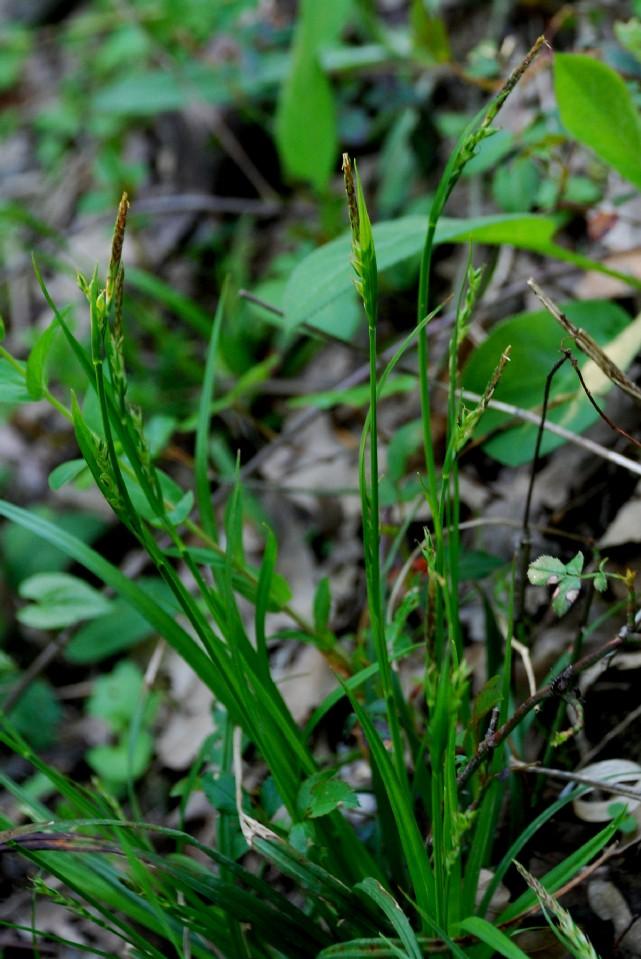 Carex olbiensis
