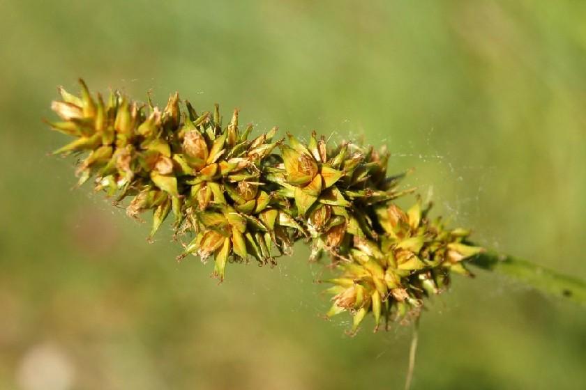 Carex otrubae