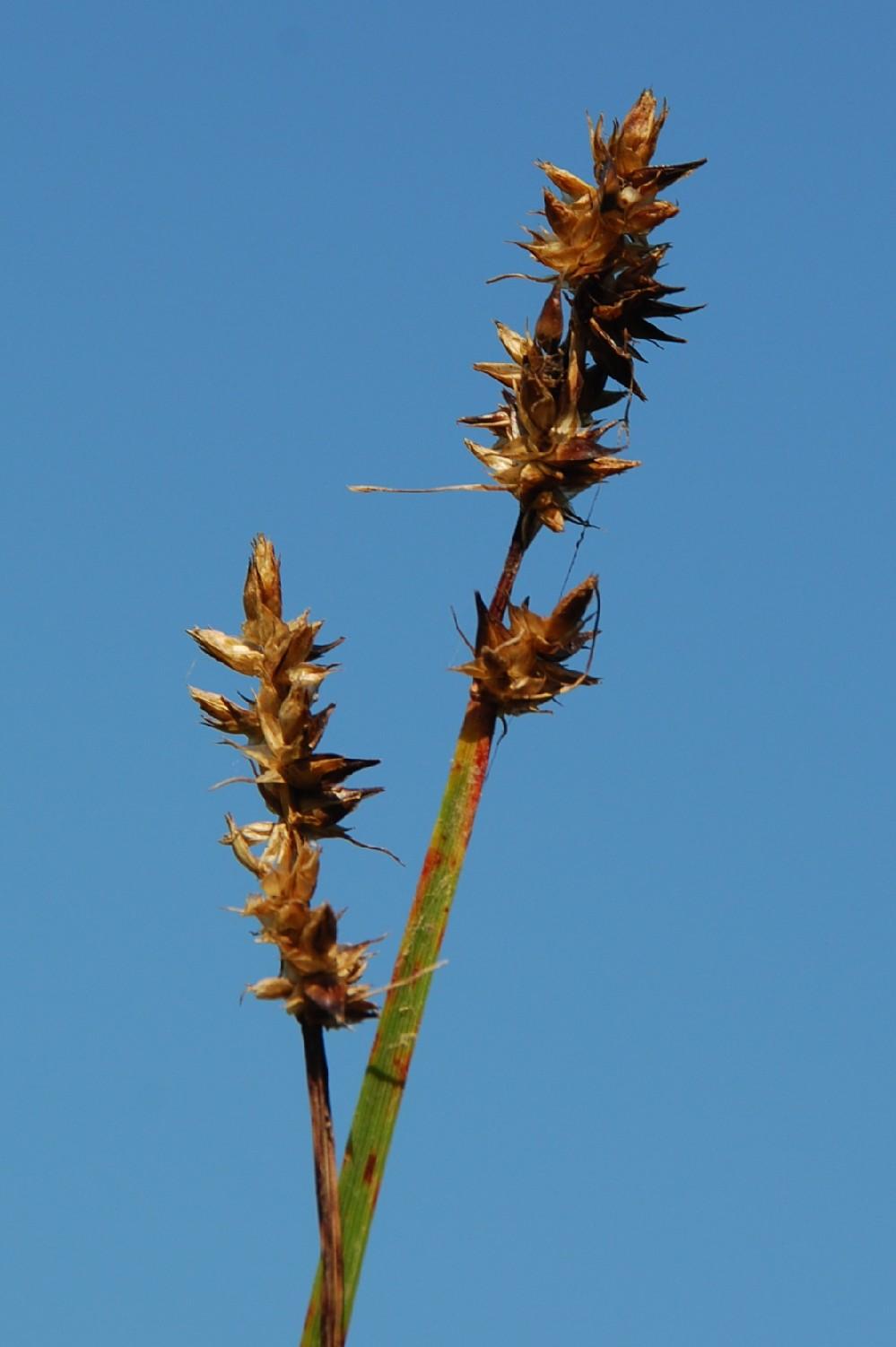 Carex otrubae 10