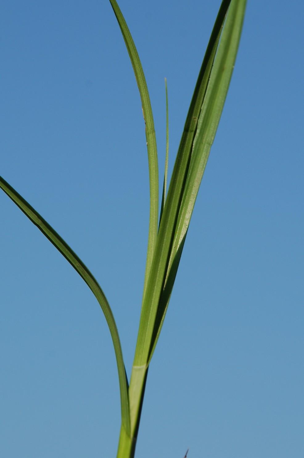 Carex otrubae 11