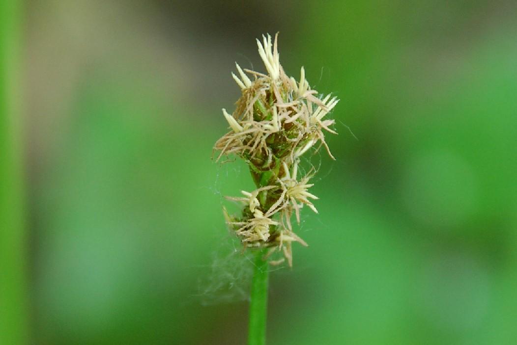 Carex otrubae 15