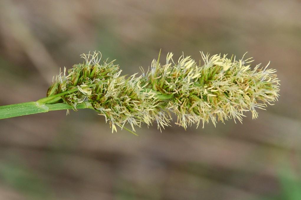 Carex otrubae 18