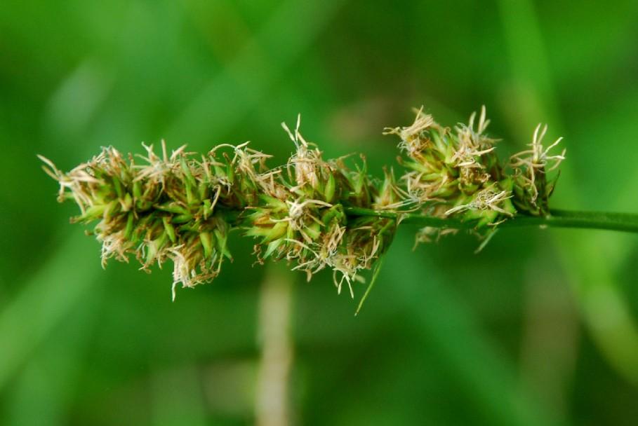 Carex otrubae 2