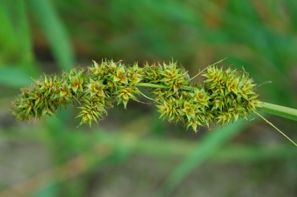 Carex otrubae 26