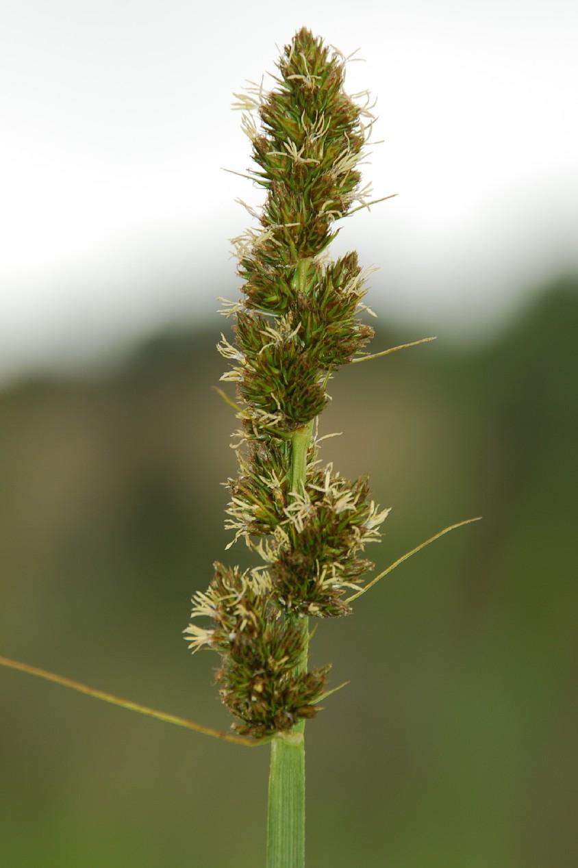 Carex otrubae 6