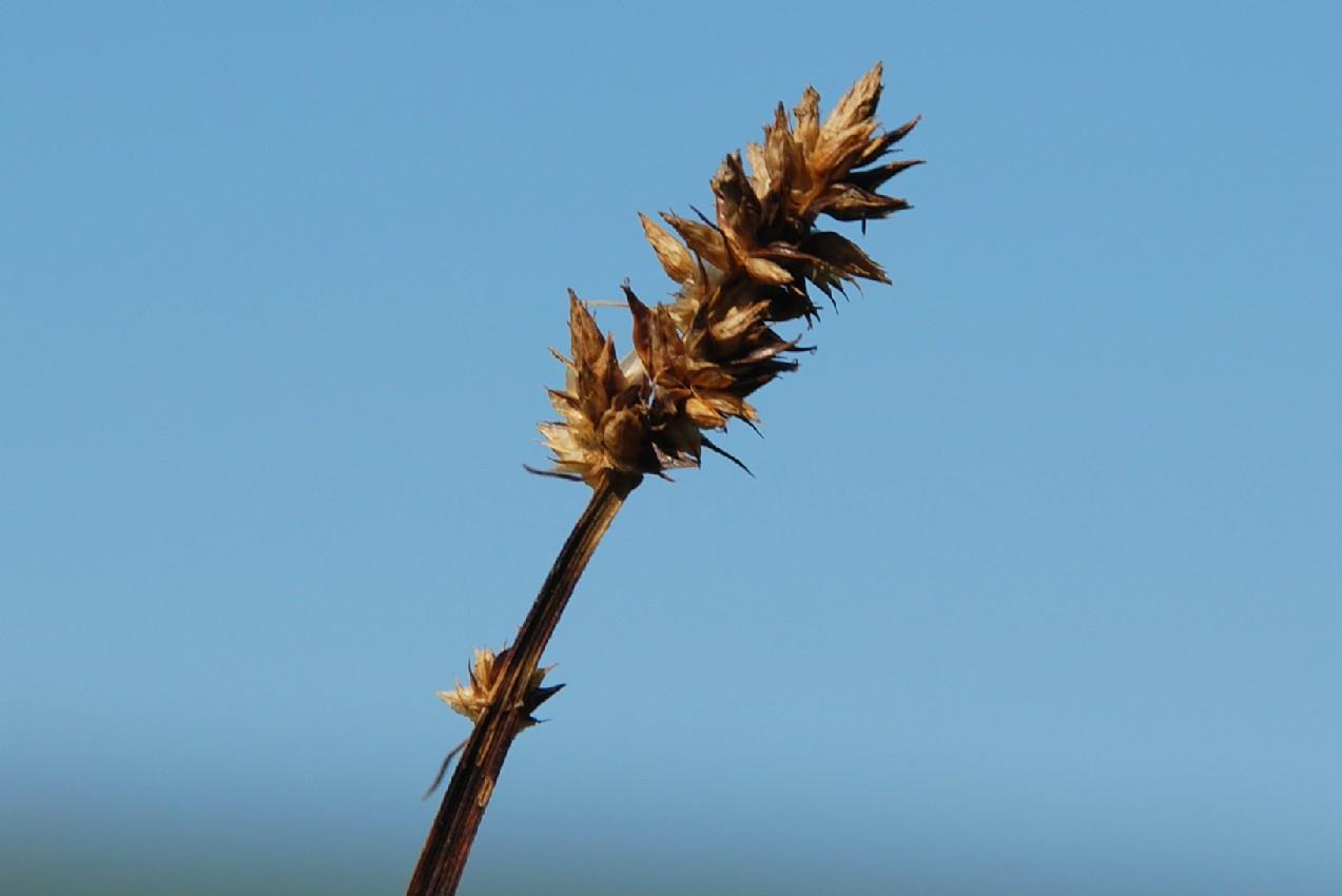 Carex otrubae 9