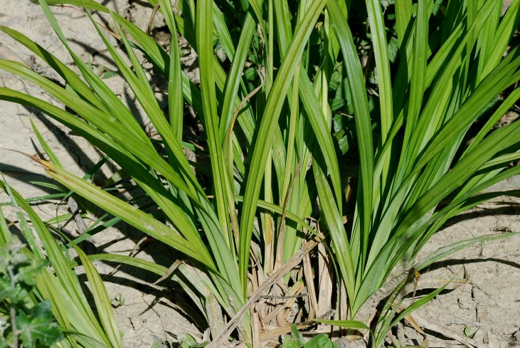 Carex pendula 13