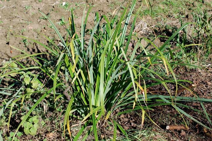 Carex pendula 20