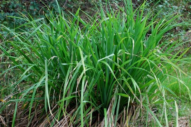 Carex pendula 4