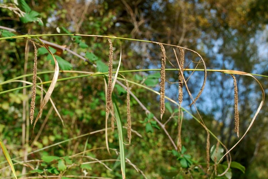 Carex pendula 6