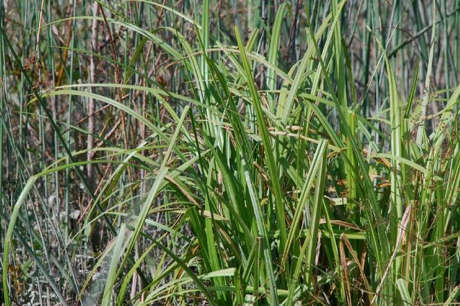 Carex pendula 7