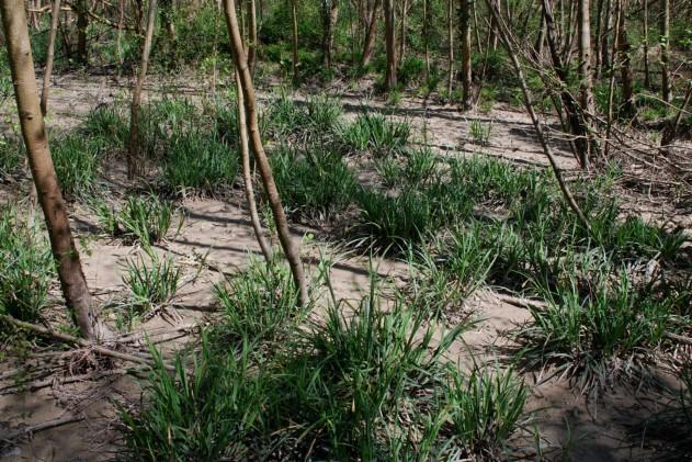 Carex pendula 8