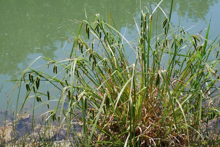 Carex pseudocyperus 17