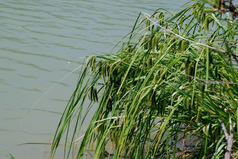 Carex pseudocyperus 2