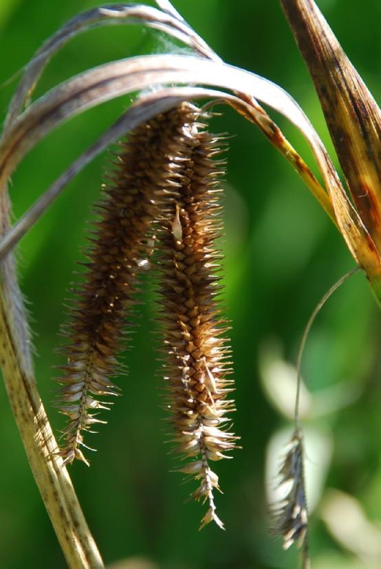Carex pseudocyperus 4